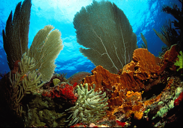 Caribbean reef fish threatened by coral loss repeating for Caribbean reef fish