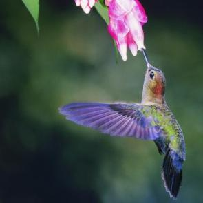 hummingbird(3)