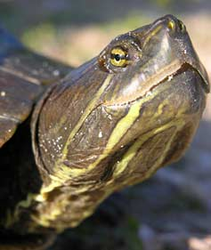freshwater-turtle-1