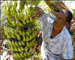 BananasB20040309RB