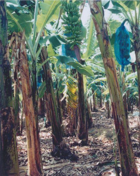banana-trees-st-lucia