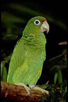 the endangerment of the puerto rican parrot and the need for its conservation White, t engeman, r m and anadon, v, puerto rican amazon amazona  vittata (2016)  conservation action has increased the population since 1975,  but it remains critically endangered because the number of mature individuals  remains tiny  range of 16 km represents only 02% of its former.