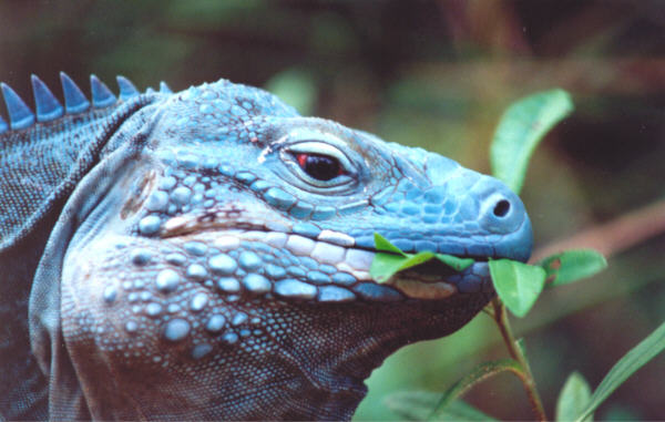 Blue Iguana Rebounds From Extinction Dan