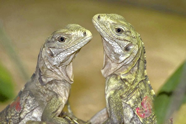 Endangered Grand Cayman Iguanas Have Baby Boom At The San Diego