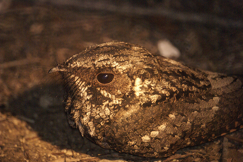 Name Puertorriqueno: Puerto Rican Nightjar (Guabairo), Endangered Species