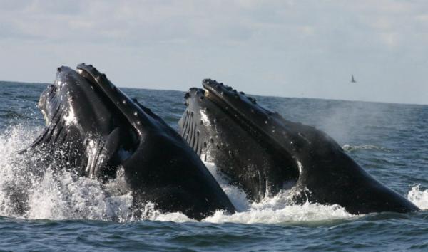 humpback-whales-feeding-110526-02