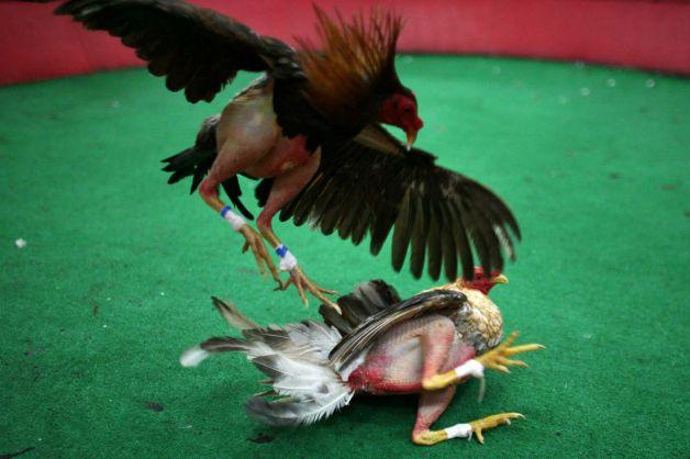 Puerto rico cock fights