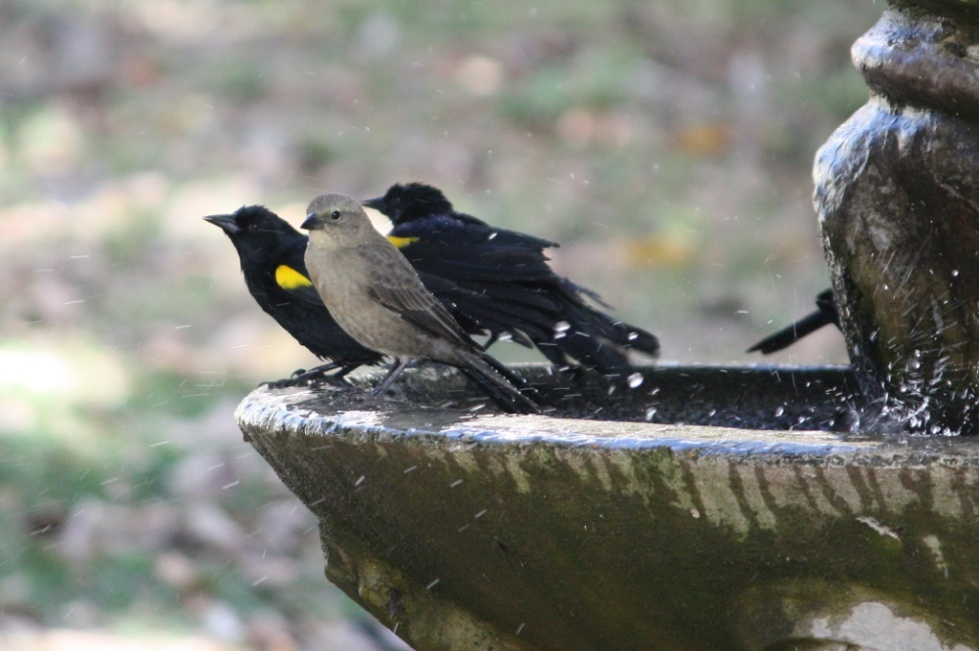 Yellow-shouldered-Blackbird-and-Shiny-Cowbird-1