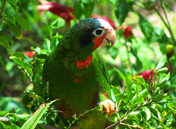 Caribbean Animals: Parrots Of The Caribbean: Extinction Looms In The Bahamas