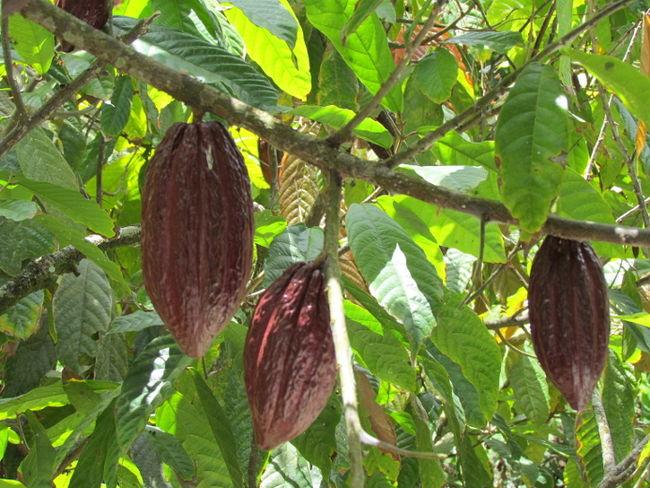 cocoa_ORIGINAL