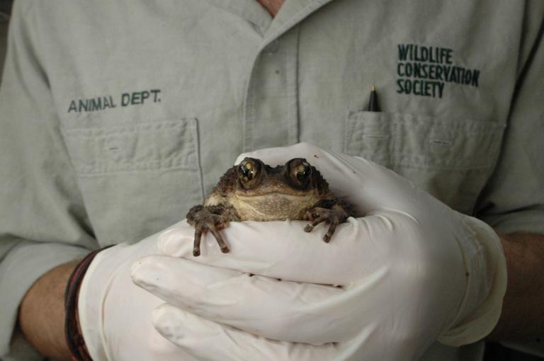 Puerto Rican Crested Toad Breeding Program