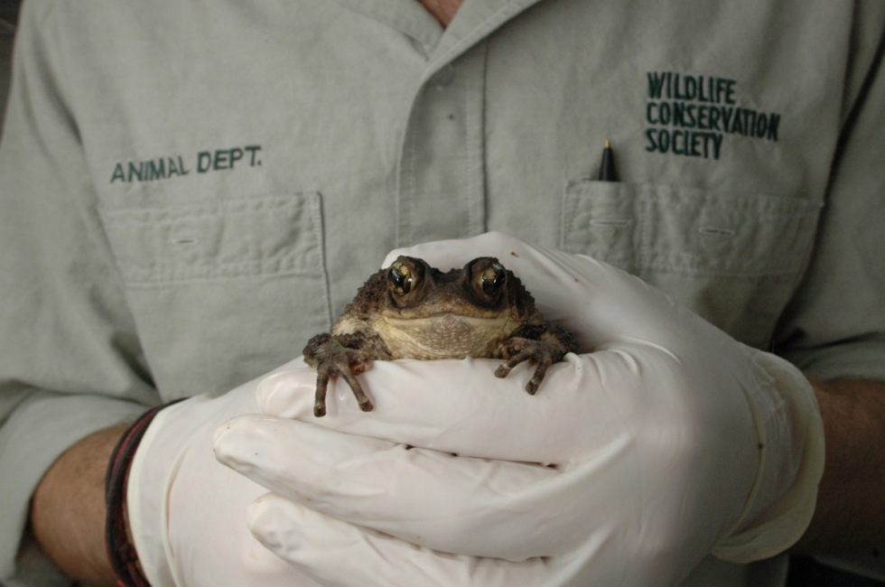 Puerto Rican Crested Toad Breeding Program