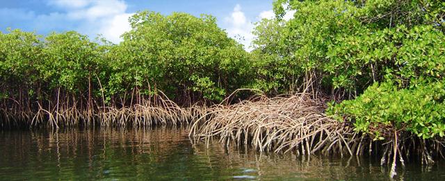 mangrove.pisino