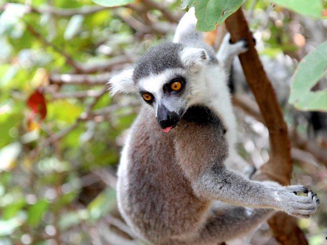 necker-island-wildlifelemur