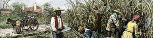 sugar-cane-for-making-rum