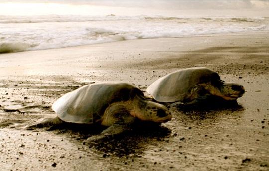 Costa-rica-sea-turtles