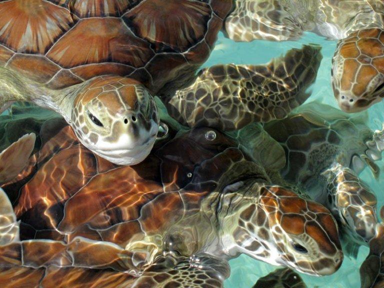 nature-cuba-turtles_tx800