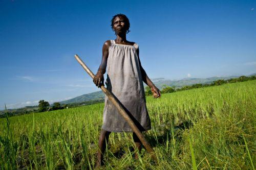 Rice_fields_in_Haiti