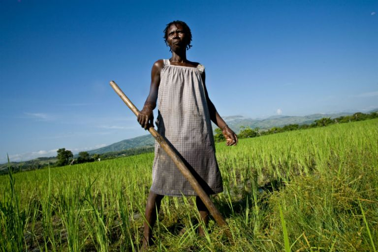 Rice_fields_in_Haiti
