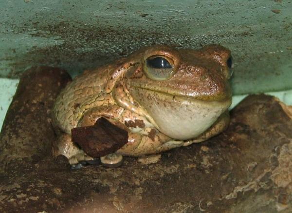 cuban-tree-frog-osteopilus-septentrionalis