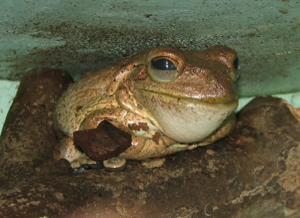 cuban-tree-frog-osteopilus-septentrionalis