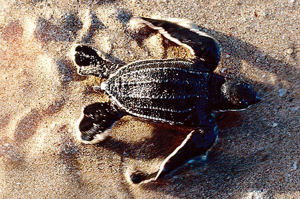 costa-rica-turtle