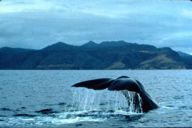 Dominica_Whale_watching_(Small)