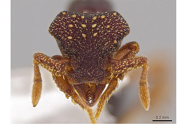 0801-Eurhopalothrix-zipacna-ant-face_full_600
