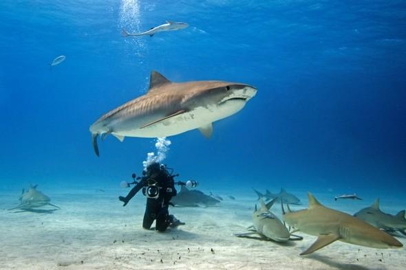 shark-diver1