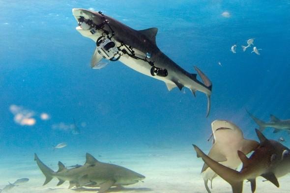 shark1-1379240253