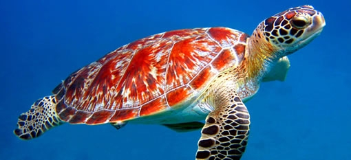 Image result for turtles dominican republic