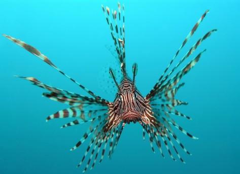 5210-lionfish