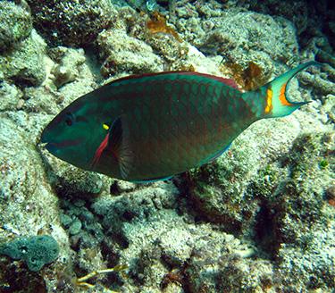 parrotfish_nps-375