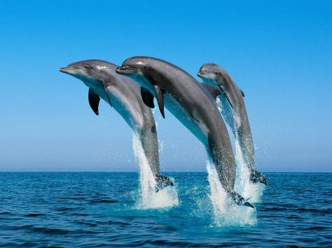 Jumping_Bottlenose_Dolphins