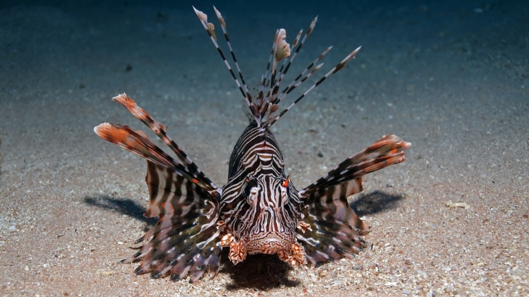 Lionfish wallpapers 1600 x 900