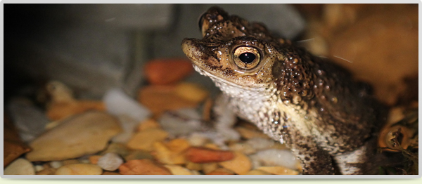 Puerto Rican Crested Toad_new