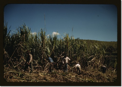 farm-security-administration-farmers-working-in-a-sugar-cane-field-vicinity-of-rio-piedras-puerto-rico-this-is-part-of-an-fsa-cooperative