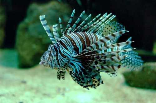 lionfish_invasion_23