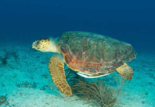 loggerhead-sea-turtle-habitat-locations-discovered_6212