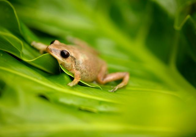 coqui-frogs