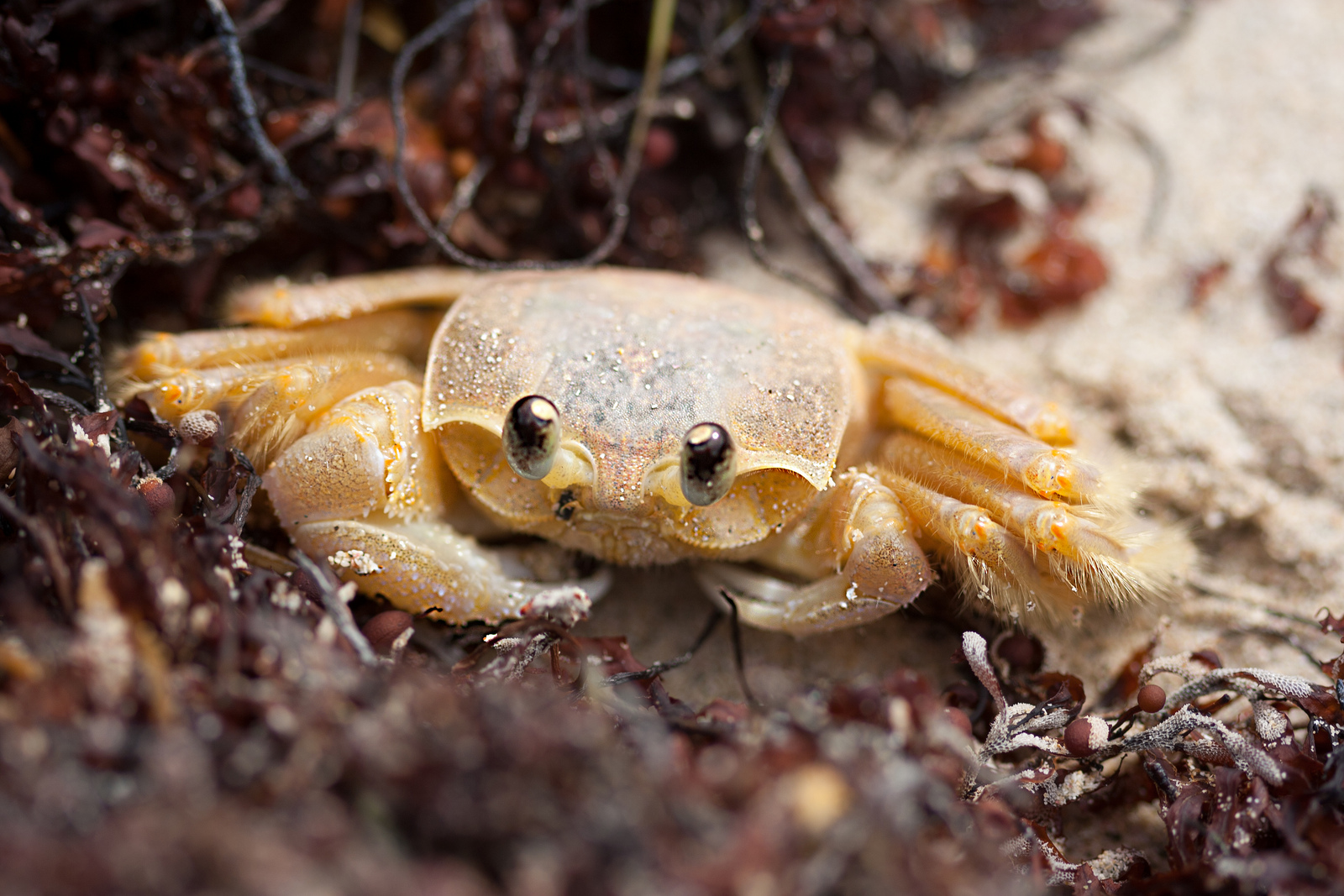 puerto rican sand crab native to puerto rico and