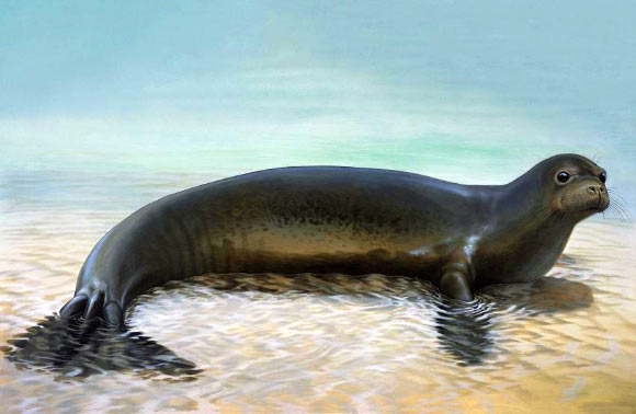 This is an artist's impression of the recently extinct Caribbean monk seal. Image credit: Peter Schouten.