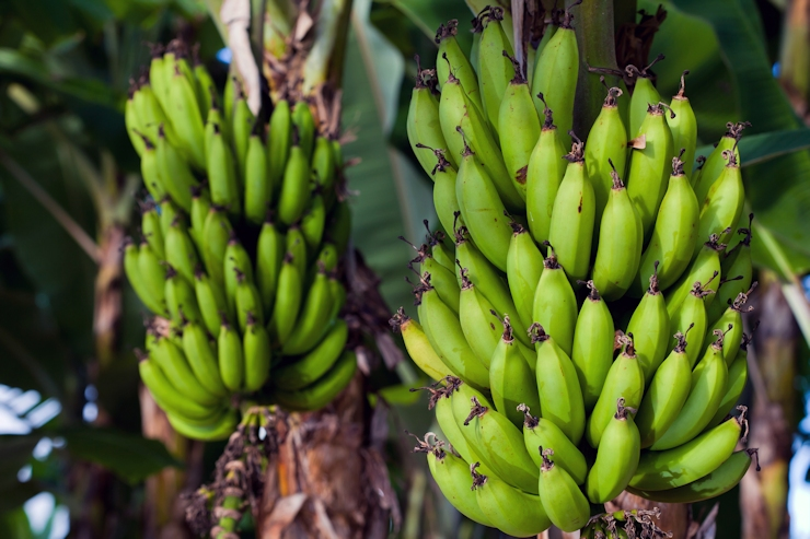 Two banana bunches almost ready for picking.