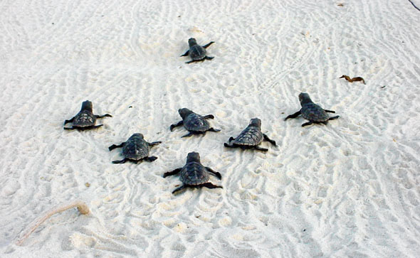 Hatchlings make their way to the sea - photo STCB