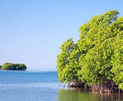 La-Parguera-red-mangrove