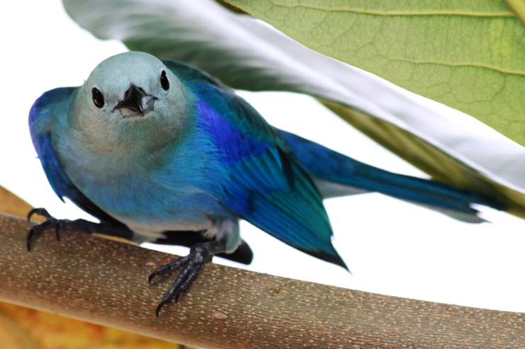 Close-up of a Blue-grey Tanager (Thraupis episcopus) at Tobago