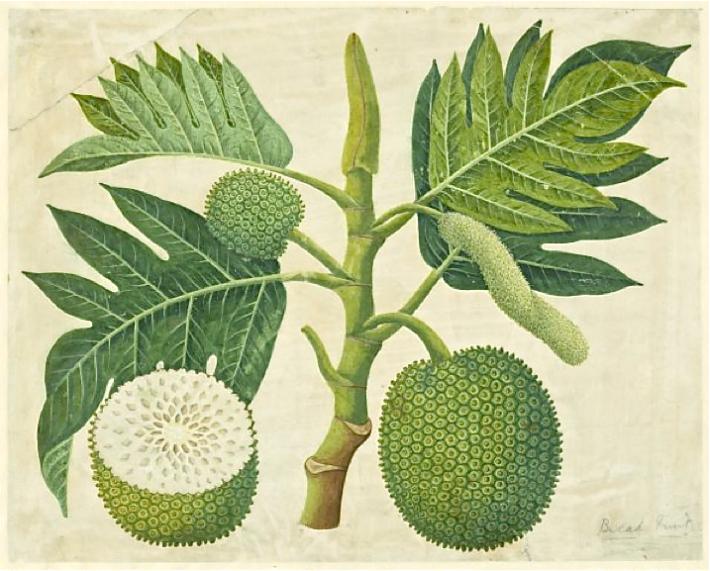 artocarpus-altilis