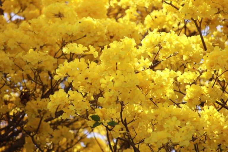 kibracha-blossoms
