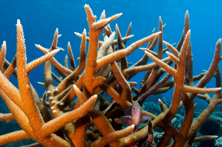 Staghorn-Coral-Colony
