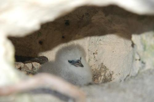 2-One-week-old-tropic-bird-chick-in-its-burrow